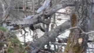 Download Beaver getting caught in a power snare Video