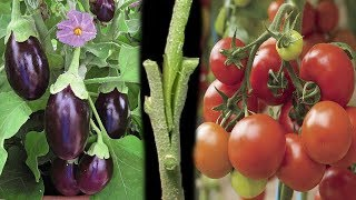 Download Tomato Grafting On Eggplant Video