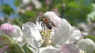 Download Honey bees in slow motion around hive and on flowers. 3 minute compilation. Video