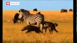 Download ZEBRA VS HYENAS HD Video