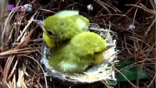 Download PIkat Burung Liar di Hutan Video