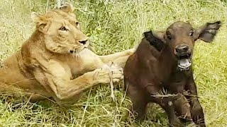Download Lions Hunt Buffalo Calf Left Behind by Herd Video
