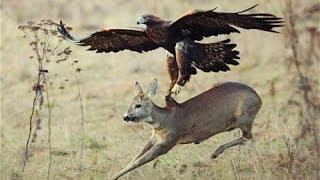 Download Top 3 Best Eagle Attacks (OWL, DEER & WOLF) Video