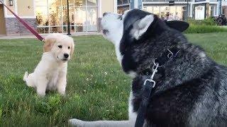 Download Siberian Husky adorably ″talks″ to Golden Retriever puppy Video