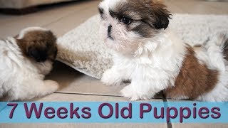 Download 7 weeks old Shih Tzus Puppies Video