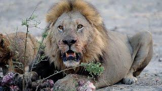 Download LIONS VS HYENAS - Clash of Enemies Video