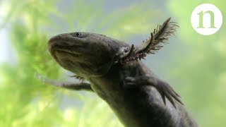 Download Axolotls: A conservation paradox Video