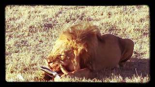 Download Lion eating gazelle​ head Video