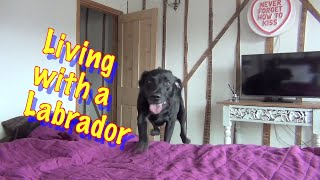 Download All About living with Percy the Black Labrador Retriever -cute Video