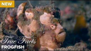 Download True Facts: Frog Fish Video