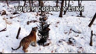Download ТИГР И СОБАКА У ЁЛКИ Video