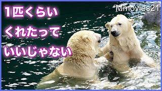 Download 魚は自分でとってよね 楽して食べたいララと厳しいリラ Polar Bears play after breakfast Video