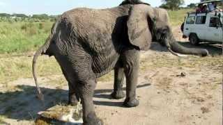 Download Elephant Tarangire Pipi Caca Video