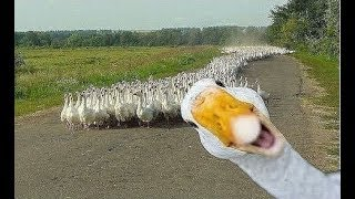 Download Angry Goose Chasing People And Animals - Funny Geese Attack Videos Compilation 2018 [BEST OF] Video