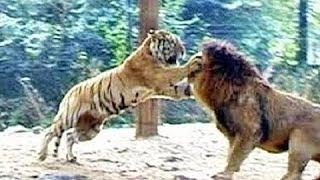 Download Hổ Chạm Trán Sư Tử - Các Trận Đánh Giữa Hổ và Sư Tư - Ai sẽ thắng😀 Video