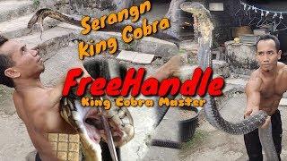Download 2 KARAKTER KING COBRA YANG BERBEDA ″(DAILY KING COBRA DAYS)″ Video