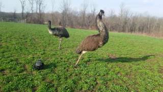 Download Emus can't figure out what is chasing them Video