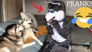 Download Pranking My Huskies By Becoming a Husky! [PRANK] [BEST REACTION EVER!] Video
