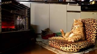 Download 反射式ストーブの前でおすわり茶トラ Cat to warm by a heater 190126 Video