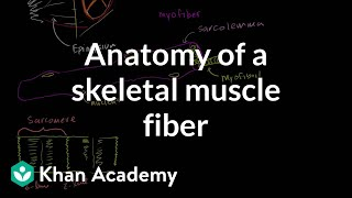 Download Anatomy of a muscle cell Video