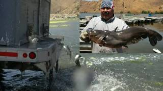 Download Giant Tilapia & ″Silver″ Channel Catfish Stocking - 7/6/10 Video