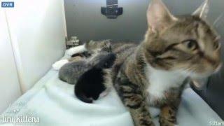 Download Tiny Kittens Bart goes into Neelix nest Video