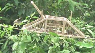 Download mikat burung menggunakan kandang jebakan dari pelepah pohon sagu Video