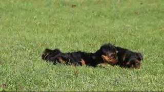 Download Yorkshire Terrier Puppies For Sale Jacob Huyard Video