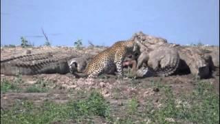 Download leopard fights crocs over kill Video