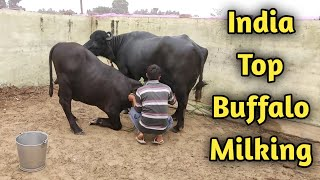 Murrah bull 2 to 4 teeth compitition at KUNGER Free Download Video