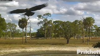 Download SWFL Eagles ~ E9 Returns ~ Visits Nest, Soars & Perches On Snag Tree 4.23.17 Video