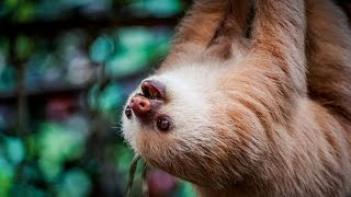 Download THE CUTEST ANIMAL IN THE WORLD!? - Sloth Wildlife Sanctuary Video