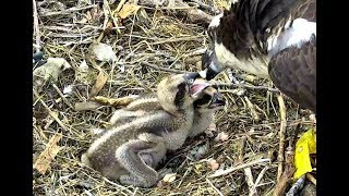 Download Breakfast gets disrupted at Chesapeake Ospreys. 06.55 / 30 May 2018 Video