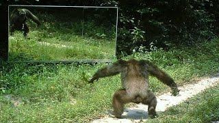 Download Chimpanzees tap dance of intimidation ?? Danses d'intimidation chez les chimpanzés face aux miroirs Video
