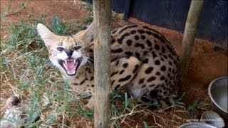 Download A day with the Servals and Caracals Video