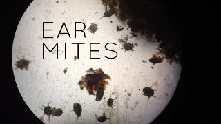 Download Ear Mites in Cats, Kittens, Puppies...and Sometimes People Video