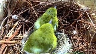 Download Burung sirtu Video
