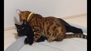Download 大人(成猫)の階段登るニコ Video