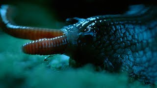 Download Rare Giant Snail Feasts On Earthworm - Wild New Zealand - BBC Earth Video