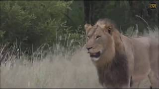 Download Safari Live Avcoa Male Lions on drive this morning March 22, 2018 Video