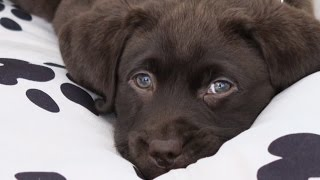 Download First day home, 8 weeks old chocolate labrador PUPPY! Video