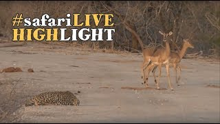 Download Young male leopard hones his hunting skills! Video