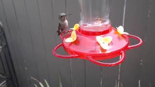 Download Bella Hummingbird Nest Cam 08-10-2018 11:47:41 - 12:47:42 Video