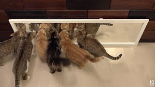 Download Cats in Mirrors Hilarious Reactions 猫たちと鏡のおもしろい反応 Video