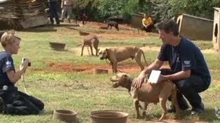 Download 367 dogs rescued in massive dogfighting bust Video