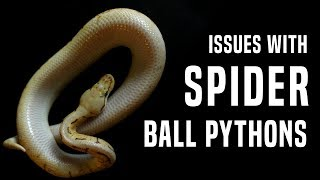 Download Spider Ball Python: Why it Needs to STOP (Neurological Issues) Video