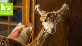 Download Tiny House Alpaca Thinks She's Human: BEAST BUDDIES Video