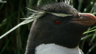 Download Hilarious Penguins Learn To Climb | Wild Patagonia | BBC Earth Video