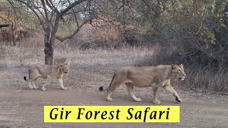 Download Gir Forest National park safari 2016 Video
