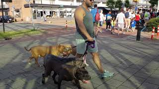 Download Walking with 4 Bully Pitbulls in public for the first time Video